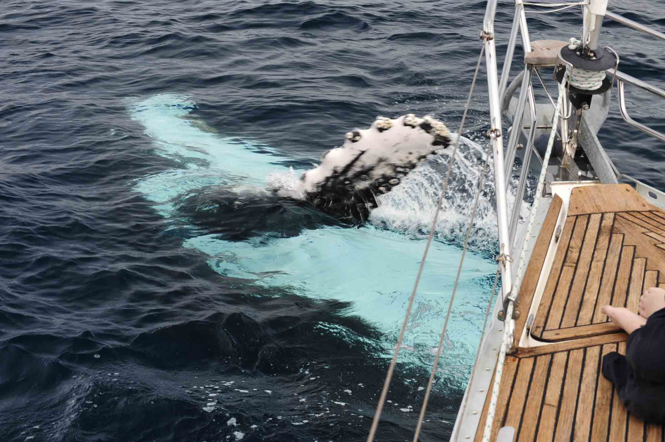 Whales play around the 'eau de vie' | Whale watching three ways
